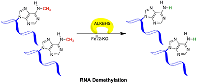 ALKBH5 mediated demethylation of 6-methyladenine (6meA) in messenger RNA (mRNA)